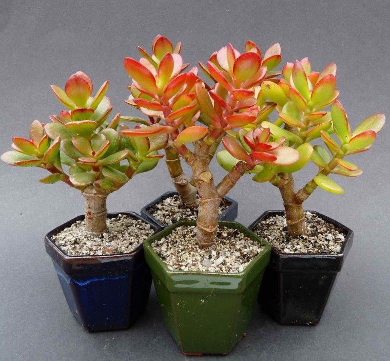 Sukulenty Sklep W Ofercie Rosliny Grubosz Jajowata F Minimum 1 Republika Poludniowej Afryki Crassula Ovata Succulents Plants
