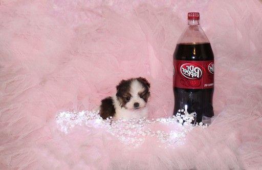 Teddy Bear puppy for sale in BONHAM, TX.