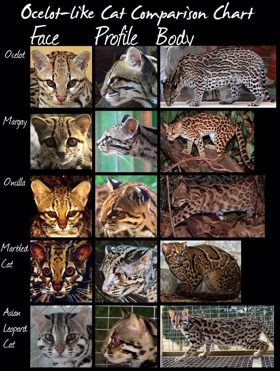 OcelotLike Cat Comparison Chart Wild cat species, Small