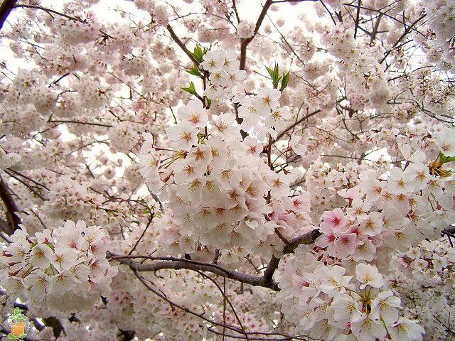 Yoshino Cherry Tree Flowering Cherry Tree Yoshino Cherry Tree Yoshino Cherry