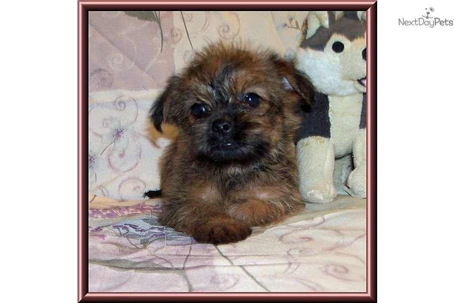 Super Cute Little Male Griffonshire Yorkie Puppy For Sale Yorkie Cute Dogs