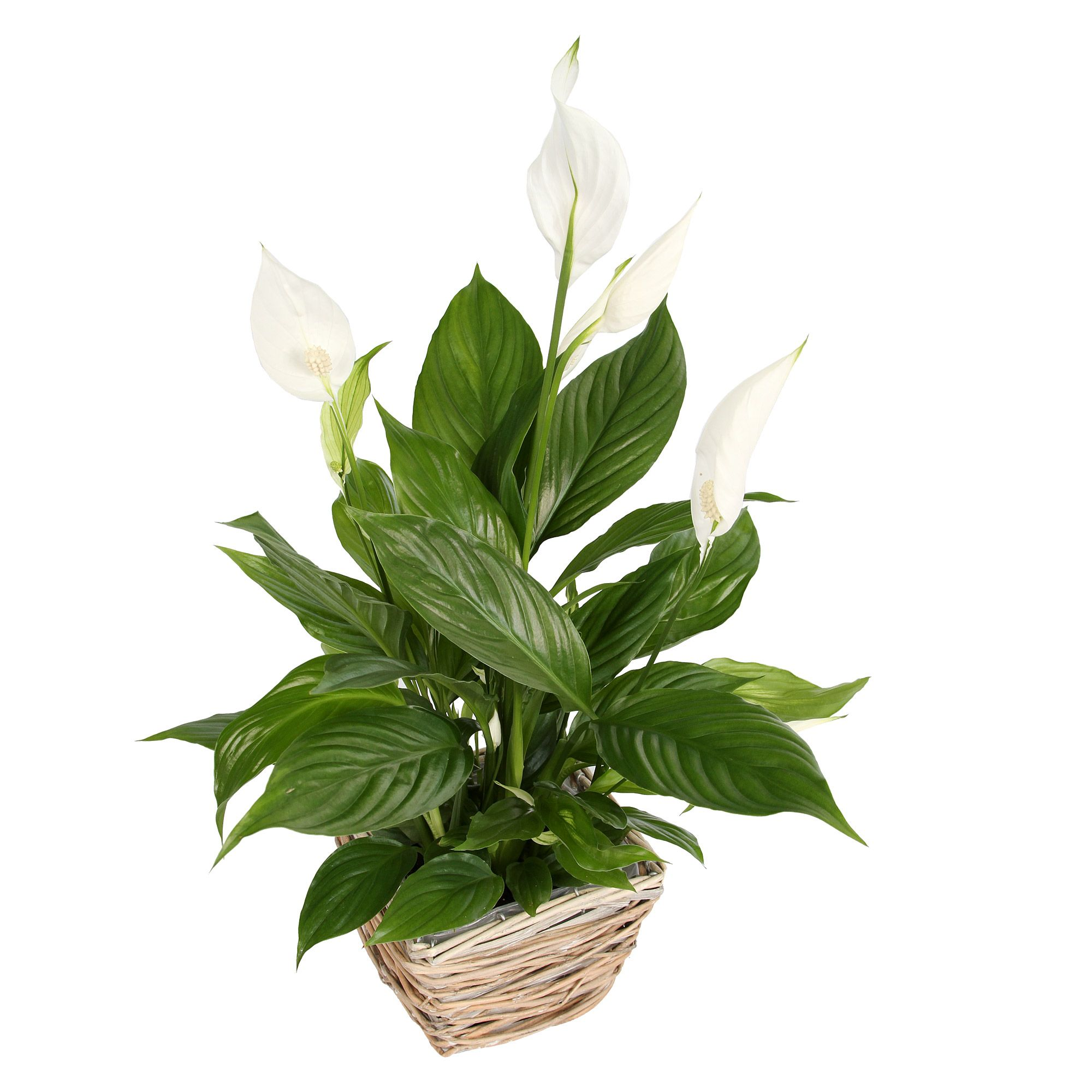 Follow this simple peace lily care guide to make sure your plant peace lily izmirmasajfo