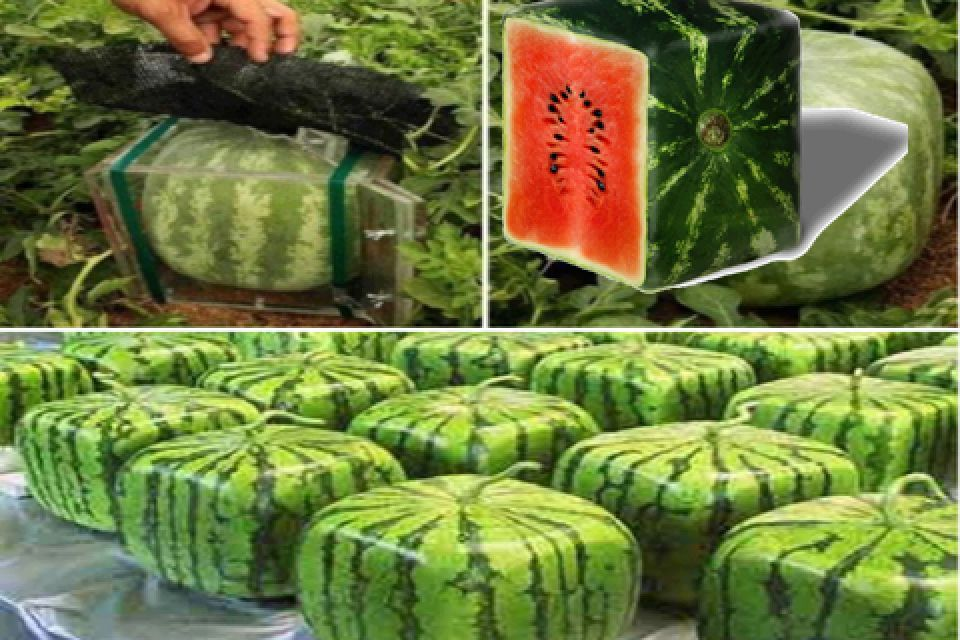Think Outside The Circle Square Watermelon Japanese Farmers Grow Normal Watermelon In