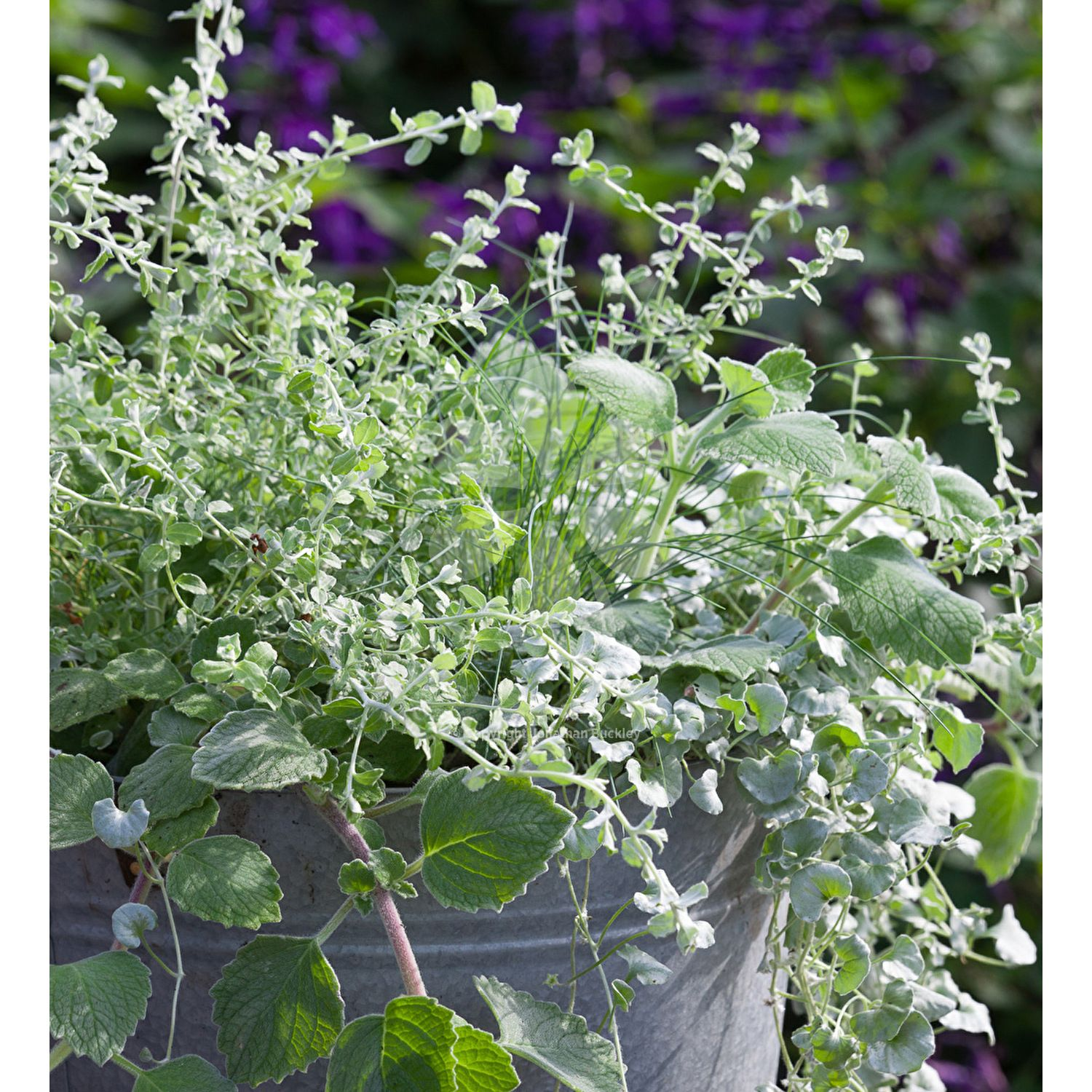 Combination of silver-leaved container plants - easy to grow & low maintenance. If kept frost-free over the winter, this will last from one year to the next.