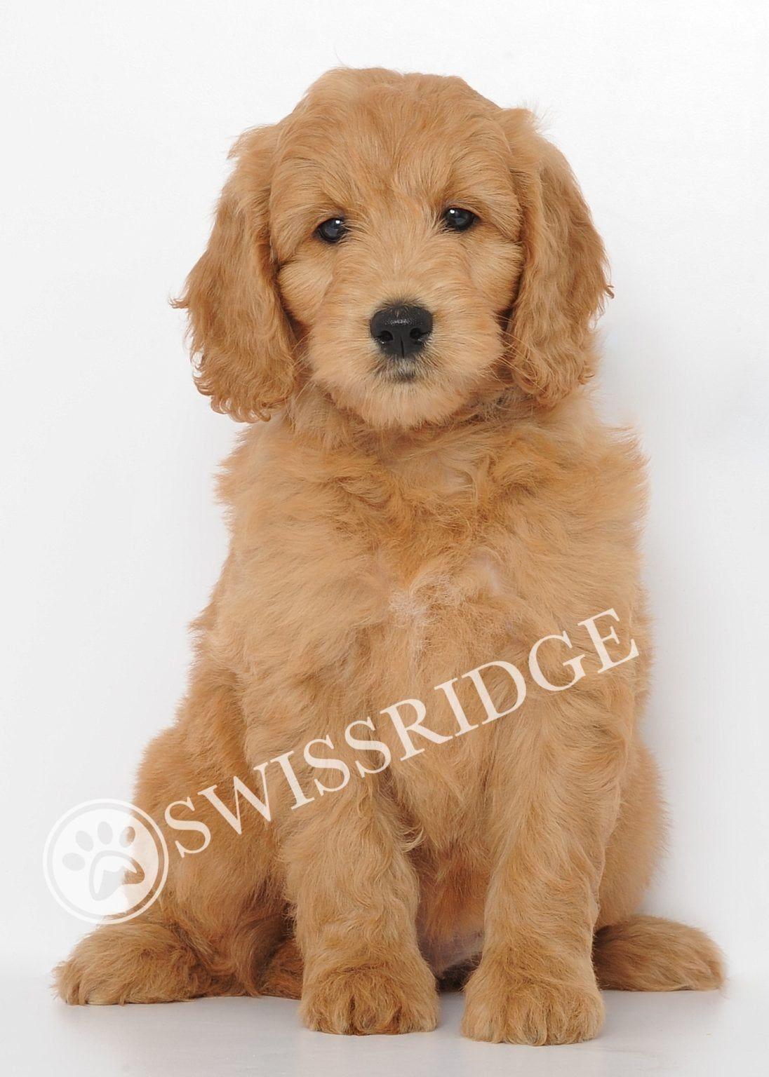 Swissridge Mini Golden Doodles Mini Pinterest Goldendoodle