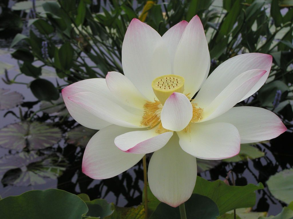 Flower meanings lily - The Divine Lotus Flower Meanings