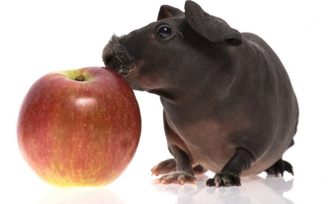 Skinny Pig The Hairless Guinea Pig Skinny Pig Cavy And Guinea - Ludwig the bald guinea pig is winning the internets hearts