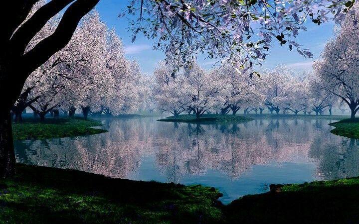 Sakura In Japan Cennet