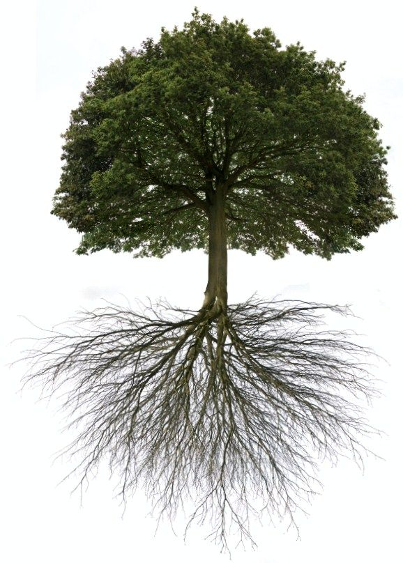 Oak Tree With Roots Deep roots | SquareRoo...