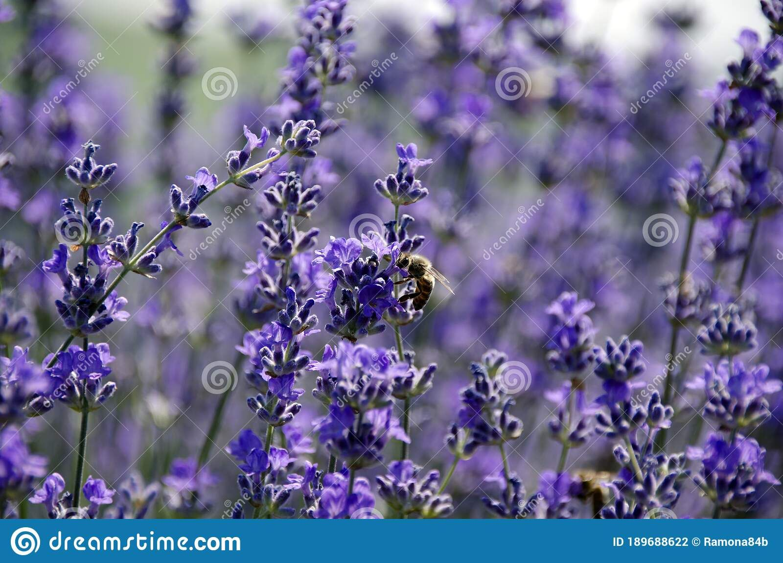 Photo About Details Of A Beautiful Lavender Flower Pollinated By One Bee Incredible Colors And A Fairytale Atmosphere Image Of L In 2020 Lavender Flowers Flowers Bee