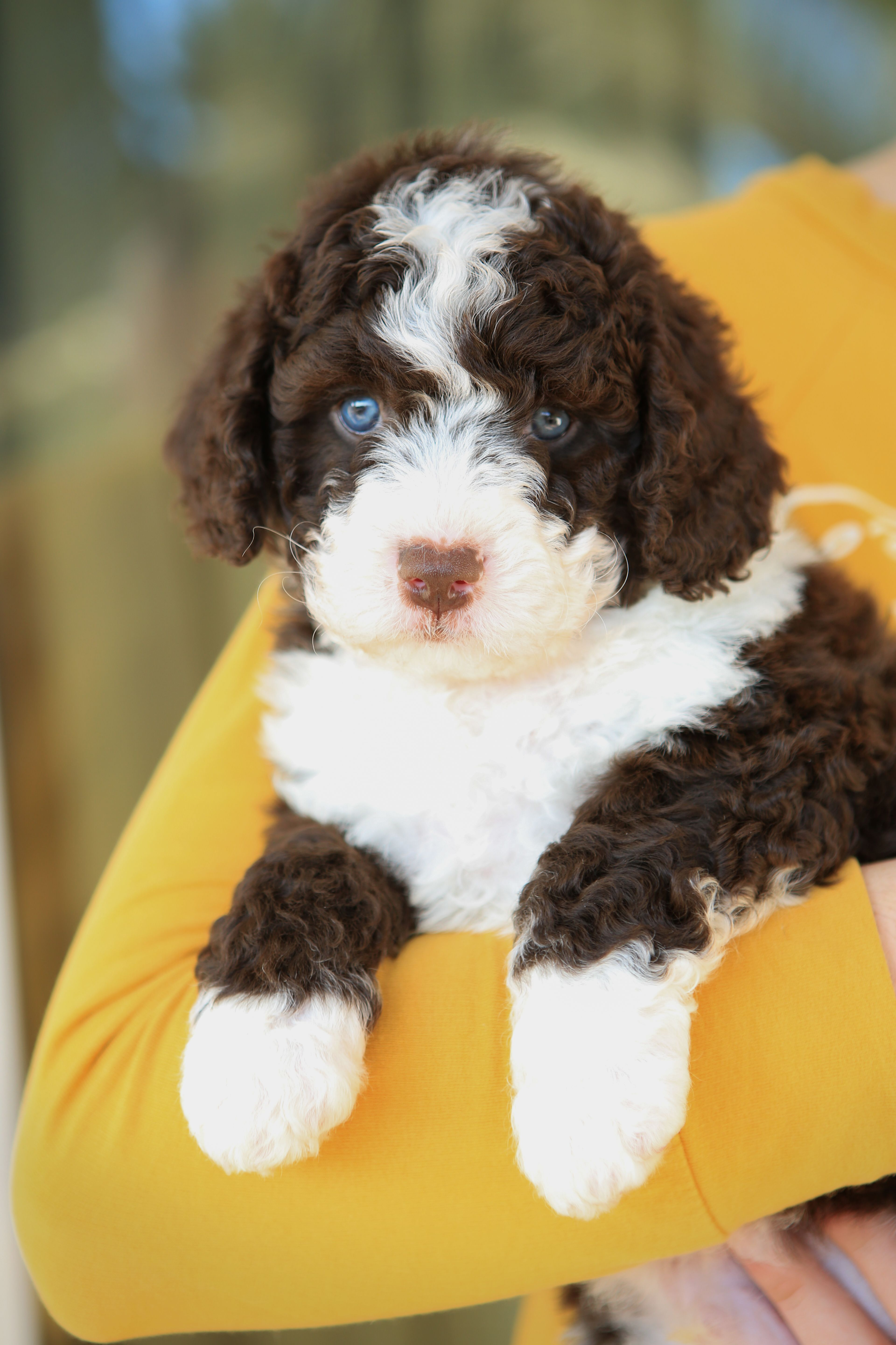 Cute Puppy Swd Canina Aqua Candy Dog Crossbreeds Spanish Water