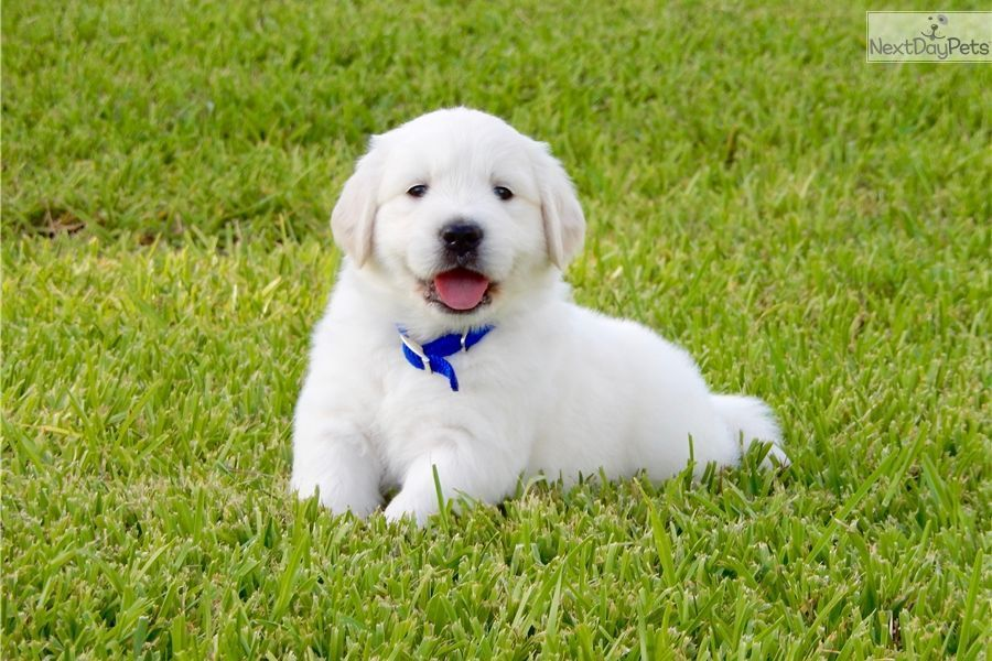 Golden Retriever Puppy For Sale Near Houston Texas C815e108