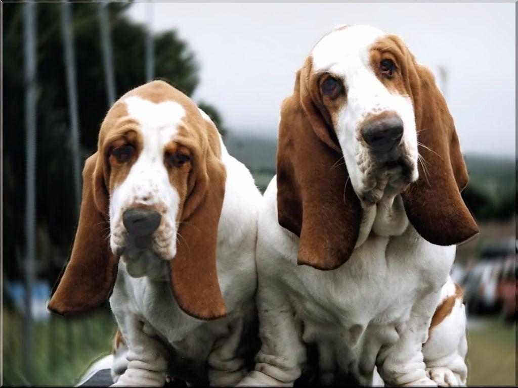 Two Basset Hound Dogs Photo Fotos De Perros Graciosas Perros De