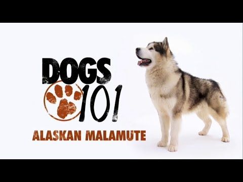 Dogs 101 Alaskan Malamute Eng Http Dogvideos Dogownerguide