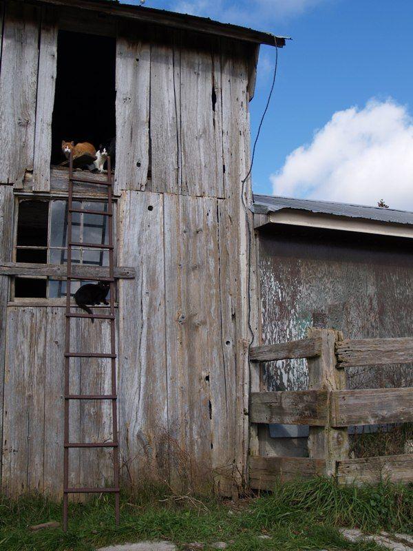 Cats In Barn Loft Window