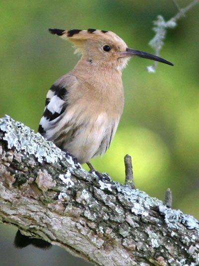 Huppe fasci e oiseaux petit aper u pinterest - Jardin des oiseaux petit quevilly ...