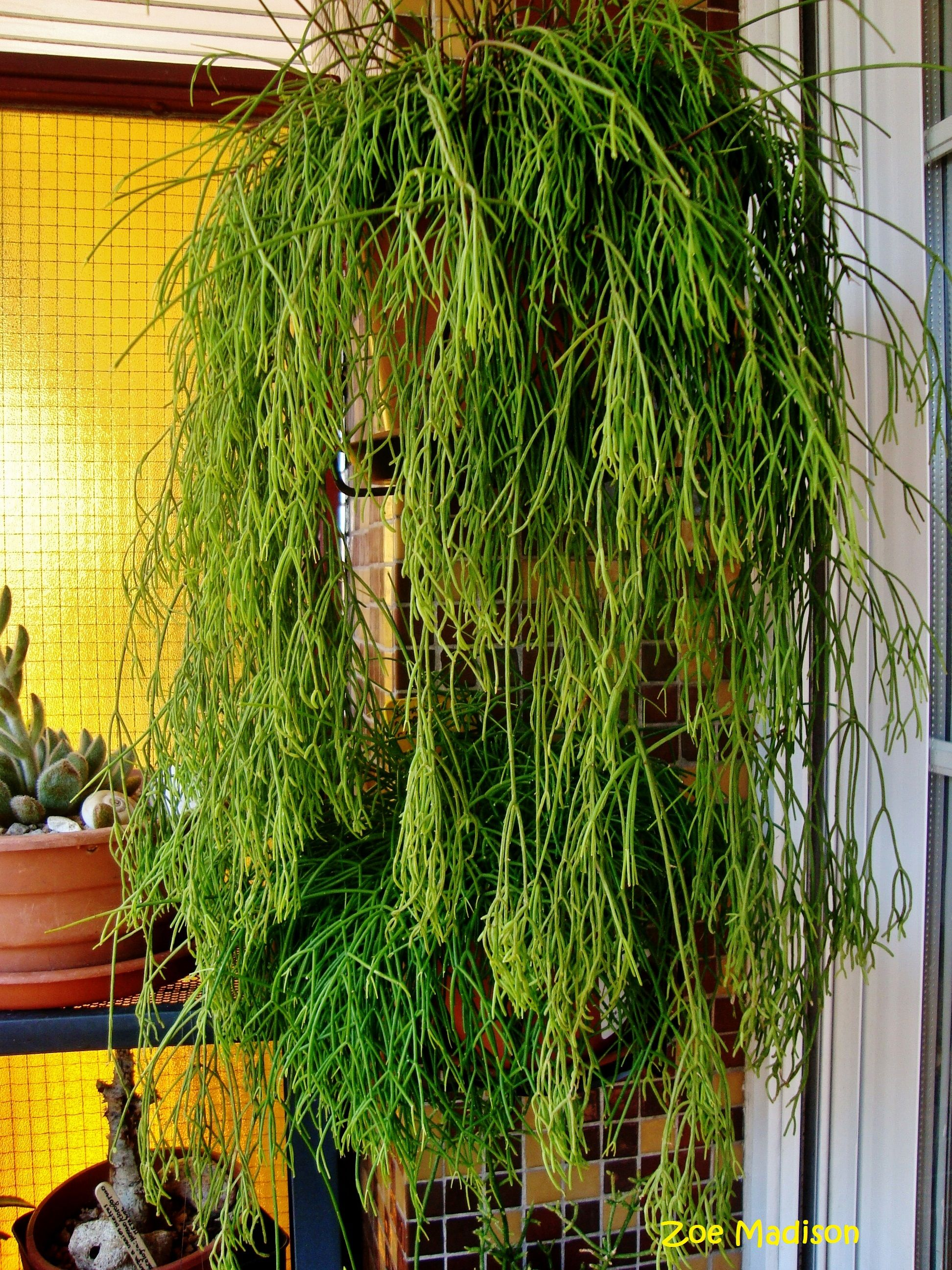 ripsalis cassutha simply succulent cactus plants. Black Bedroom Furniture Sets. Home Design Ideas