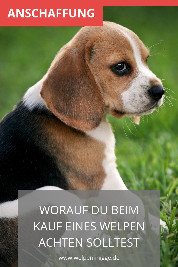 Ratgeber Zum Kauf Eines Hundwelpen Welpen Hunde Welpen Hundewelpen