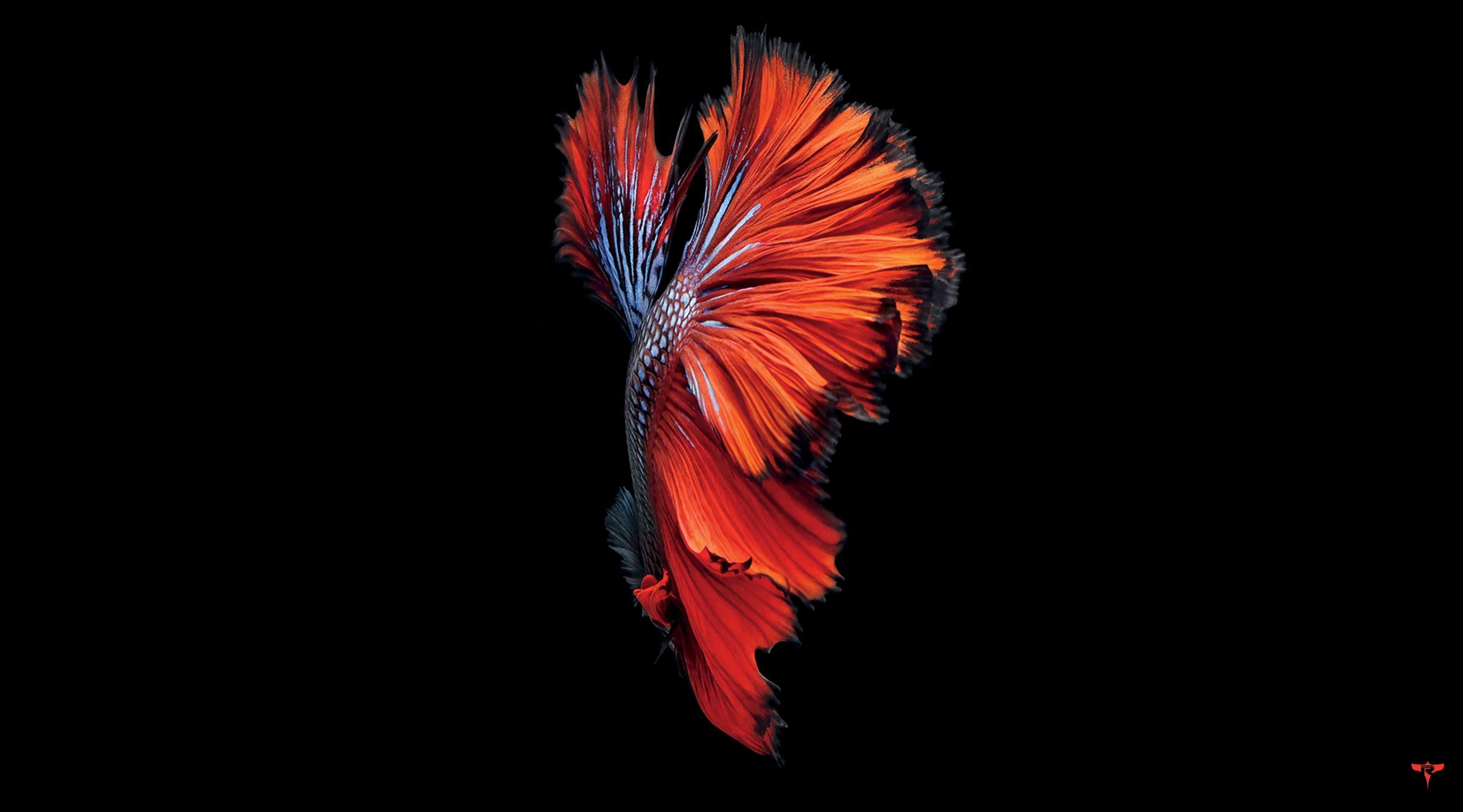 iPhone 6S, red and black betta fish wallpaper #Computers # ...