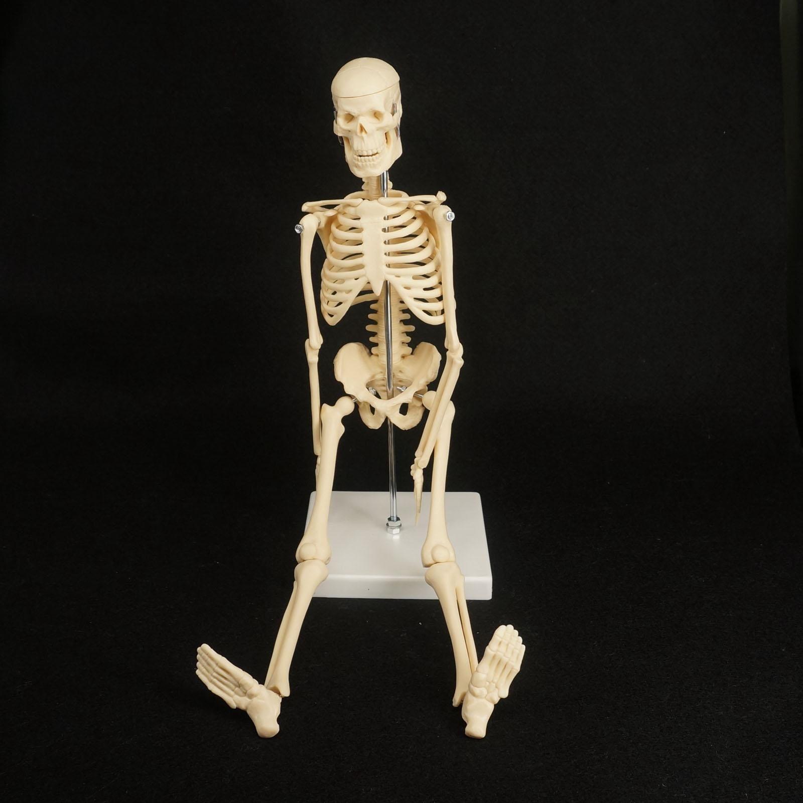 Comprar 45 CM Corpo Mini Modelo Humano Modelo de Esqueleto Anatômico ...
