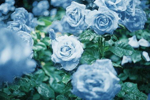 Dreamy blue roses