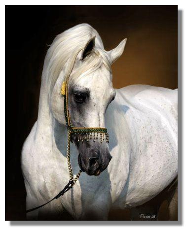 Arabian Horses A Girlhood Love Horses Egyptian Arabian Horses Beautiful Horses