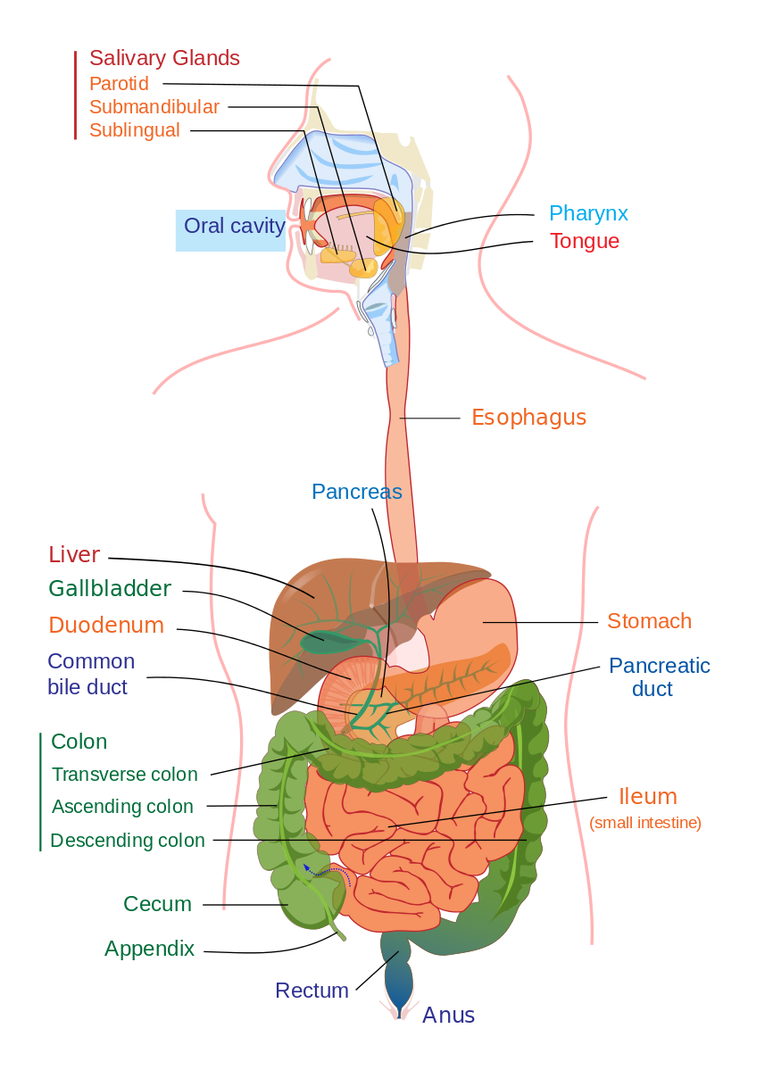 Filedigestive System Diagram Editg Physiology Pinterest
