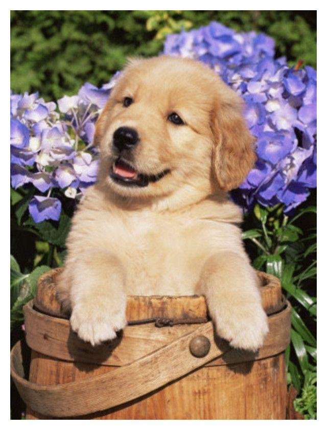 Untitled 565 Cute Dogs Retriever Puppy Cute Animals