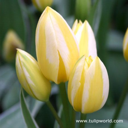 Antoinette bunch or bouquet tulip multiple blooms on 1 stem starts starts whitepale yellow then turns pink then salmonorange blooms mid spring full sun part shade mightylinksfo Images