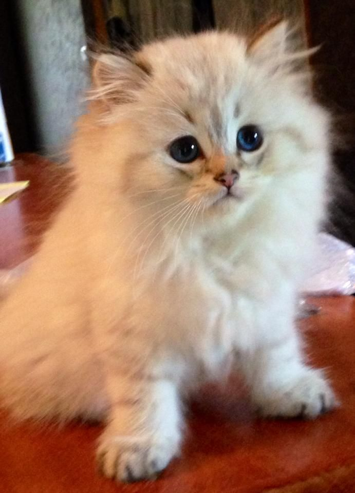 British Longhair Seal Golden Tabby Point Cute Cats And Dogs