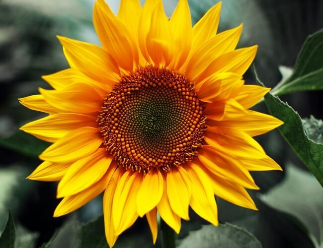 Pin By Read National On Tattoos Sunflower Pictures Sunflower Painting Sunflower