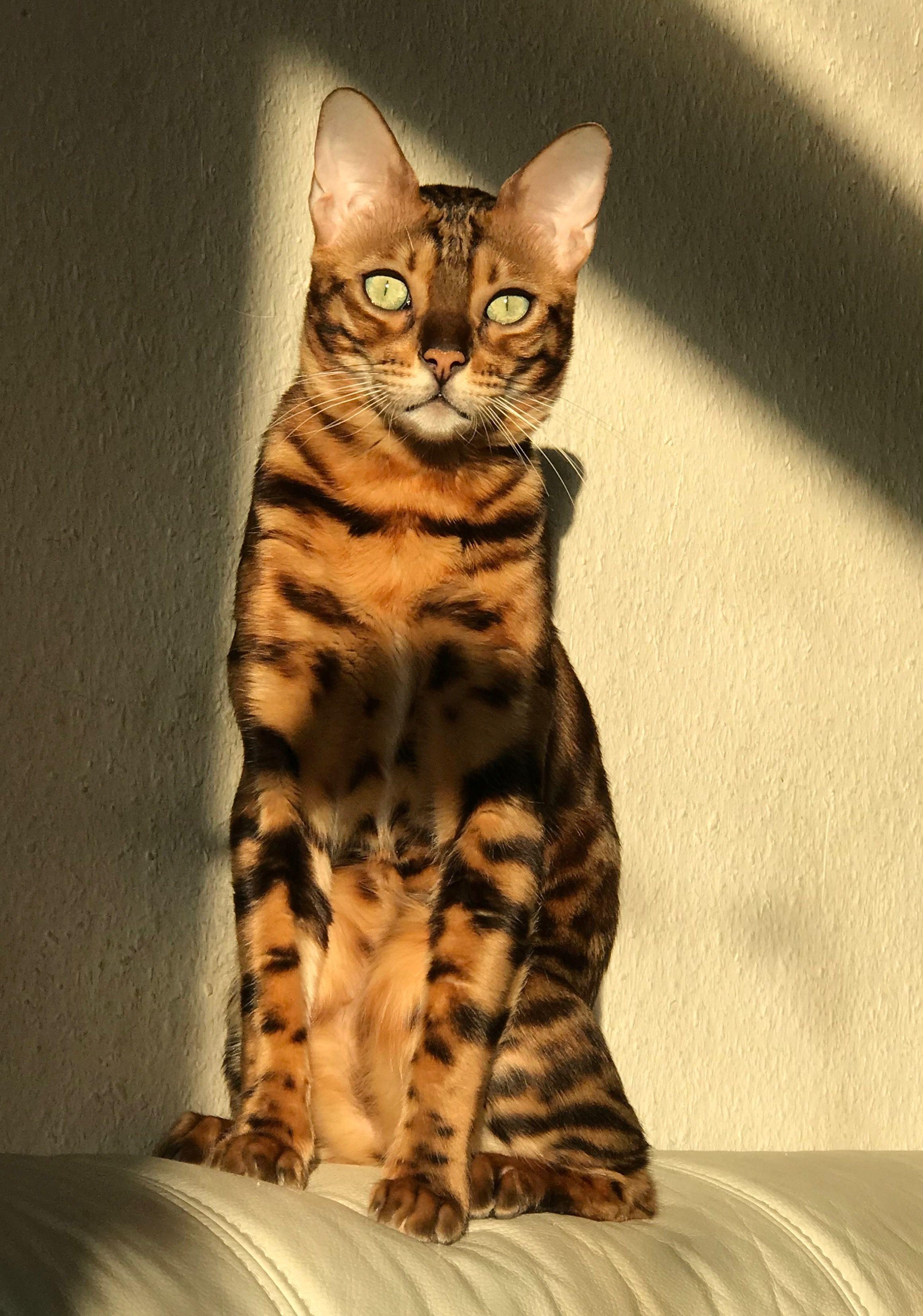 Timur Bengalkatze Bengal Cat Bengal Katze Bengalkatze Bengal Katzchen Katzen