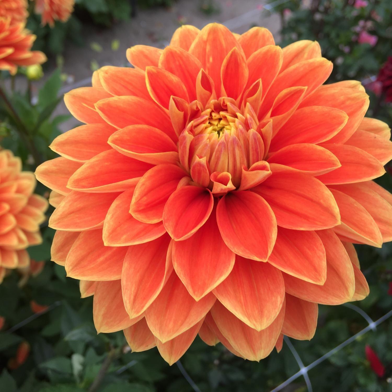 Myrthe Dahlia Google Search In 2020 Dahlia Flowers Plants