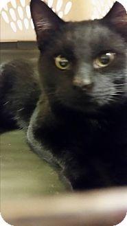 Joplin Mo Domestic Shorthair Meet Auggie 108628 A Cat For Adoption Cat Adoption Kitten Adoption Pets