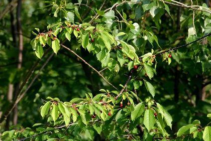 Wild Cherry Prunus Avium Bark Deciduous Trees Winter Trees Tree Bark Identification