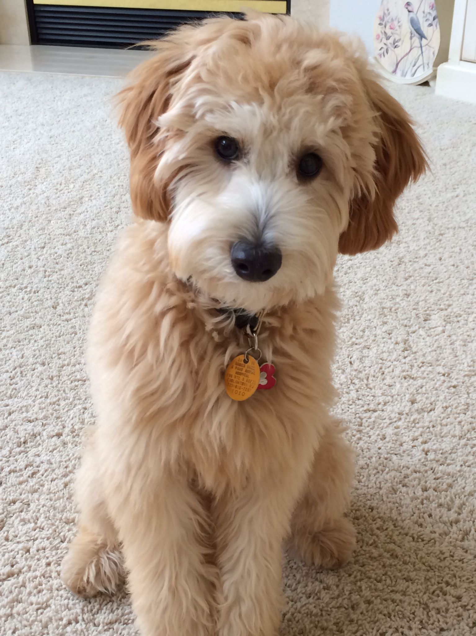Jax Galgano at 6 mos.jpeg (1535×2048) Goldendoodle