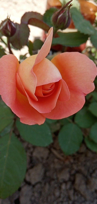 Imagem De Rosas Lindas Jlpdegodoy Por Jlp De Godoy Belas Flores