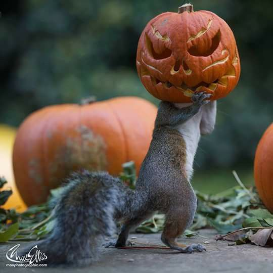 Squirrel trying to steal a carved pumpkin