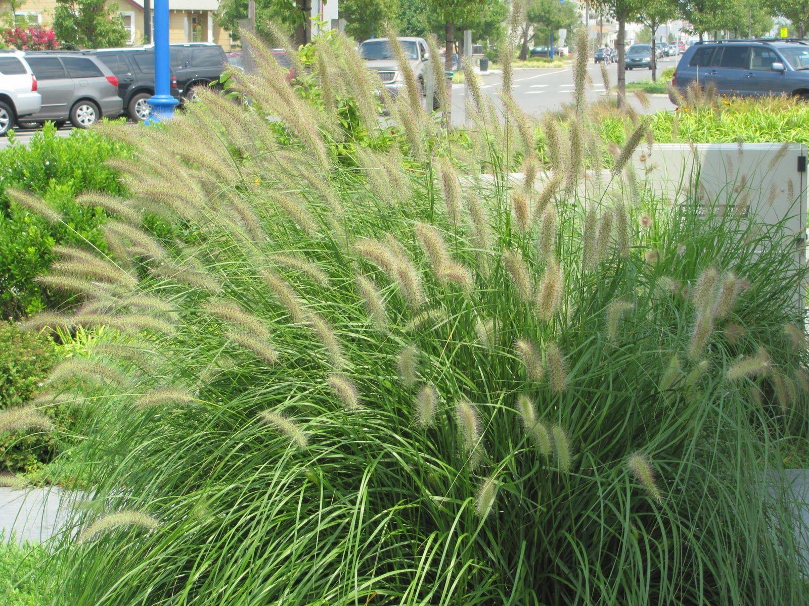 Tall Grass Landscaping Desert Jpg 1600 1200 Tall Grass Landscaping Desert Landscaping Grasses Landscaping