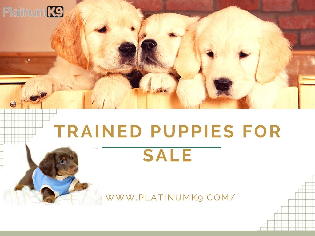 Dogs At Platinum K9 Trained Puppies For Sale Buy Trained Gsh Dogs Puppies Getting A Puppy Puppies For Sale