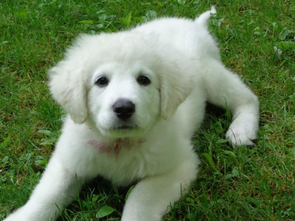 Kuvasz Puppy Precious Kuvasz Pinterest Dogs Puppies And