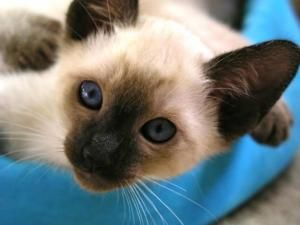 Adopt Kac Siamese Kittens On Siamese Cats For Sale Siamese Cats Cat Breeder