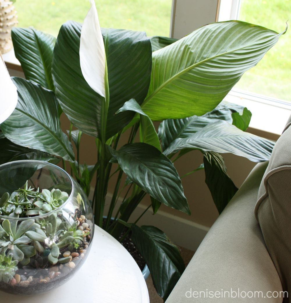 My largest houseplant is the peace lily the fun of decorating with my largest houseplant is the peace lily the fun of decorating with plants is finding izmirmasajfo Choice Image