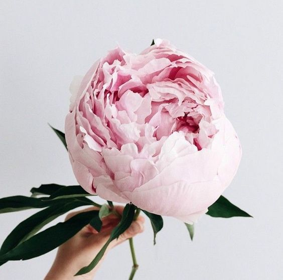 The most perfect giant pink peony