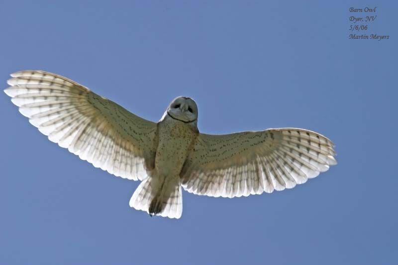 Barn owl from below. SierraBirdbum