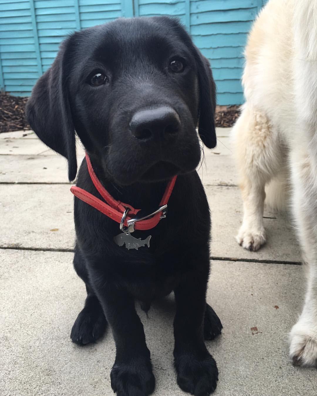 Pin De Ixchel Anahi En Animales Perro Labrador Retriever Cachorros De Laboratorio Perro Labrador