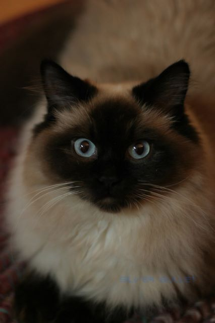 Just A Random Cute Cat I Found Somewhere Cats Long Haired Cats Beautiful Cats