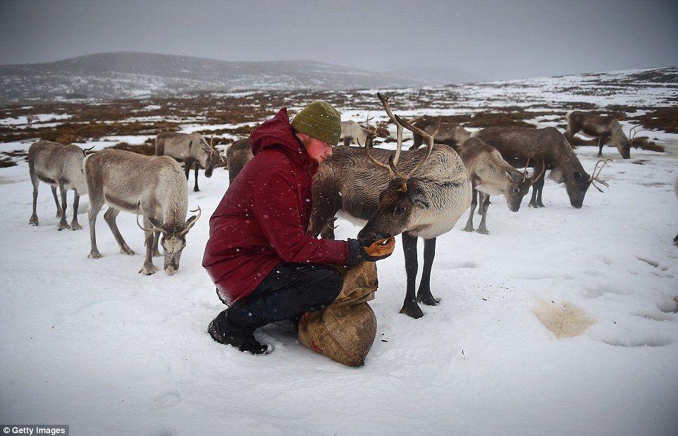 Christmas: Zac Brown, a reindeer herder at the Cairngorm Reindeer ...