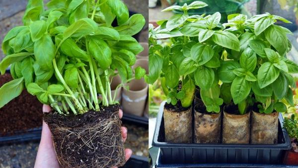 planter du basilic prêt à planter en 2020   Basilic plante ...