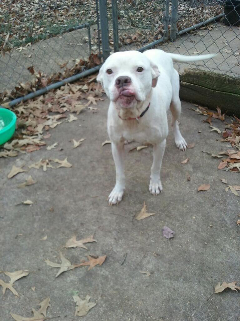 American Bulldog Dog For Adoption In New Albany Ms Adn 758778 On